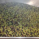 raccolta-olive-marchigiane