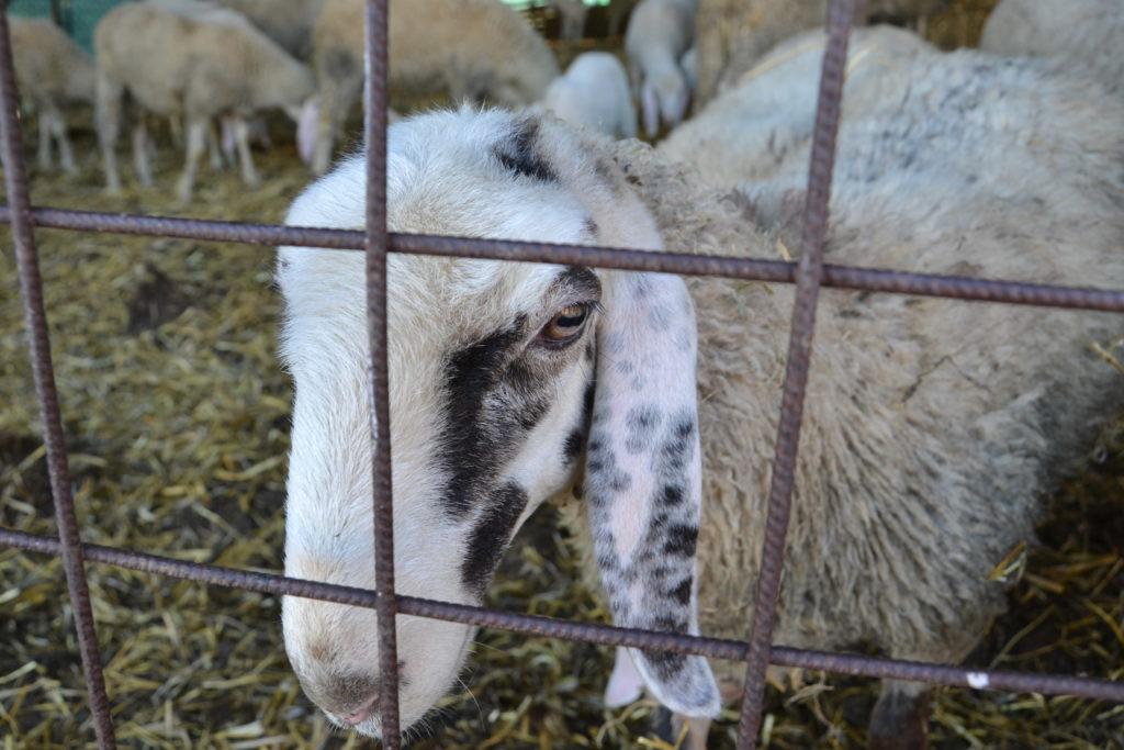 Carne-agnello-senza conservanti