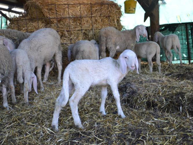Carne-agnello-biologica